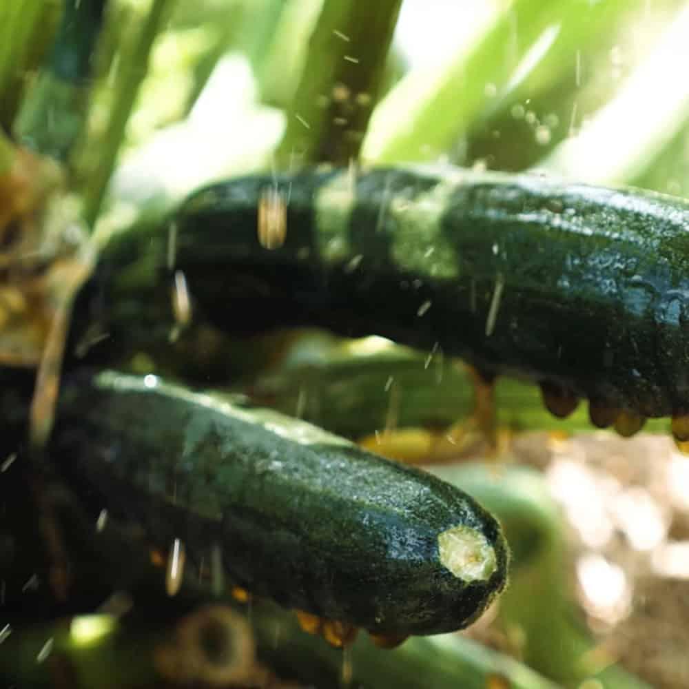 Worm Juice Zucchinis